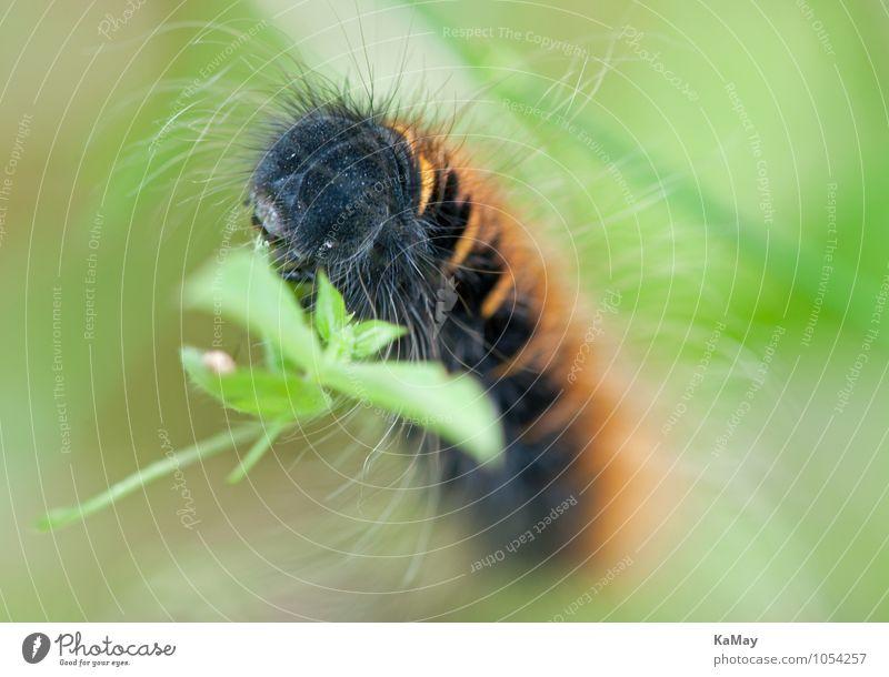 Wunderschön herausgeputzt... Natur Tier Sommer Schönes Wetter Blatt Raupe Brombeerspinner 1 Fressen ästhetisch natürlich braun grün schwarz Gelassenheit bizarr