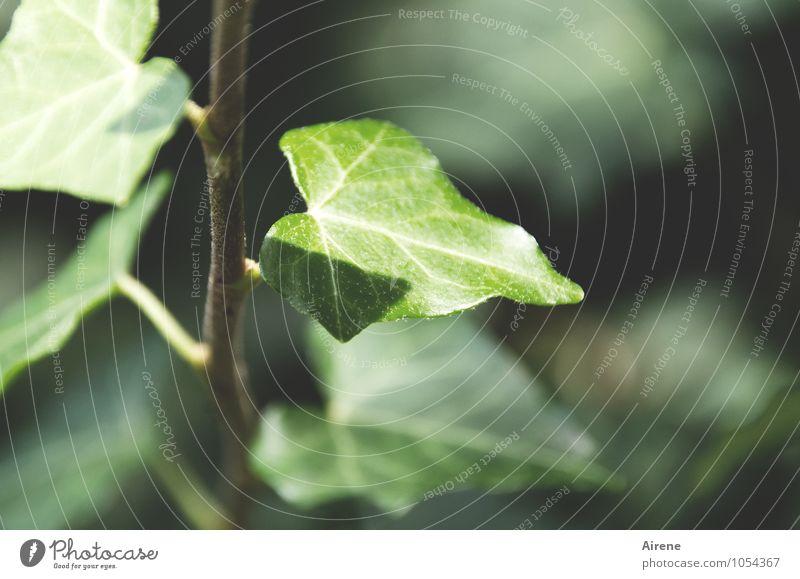 immer grün Pflanze Efeu Blatt Kletterpflanzen Wachstum frisch positiv Wandel & Veränderung aufsteigen stetig Immergrüne Pflanzen Farbfoto Außenaufnahme
