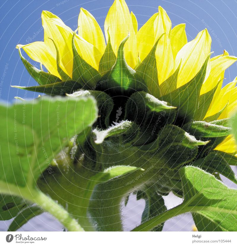 Rückansicht einer Sonnenblume im Sonnenlicht vor blauem Himmel Blume Blüte Blattgrün Gefäße Stengel Oval gelb hellgelb weiß dunkelgrün hellgrün Makroaufnahme