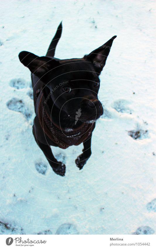Hund Kiara im Schnee Natur Freude Tier Winter kalt Bewegung Wiese natürlich Spielen springen Freizeit & Hobby authentisch Coolness Tiergesicht
