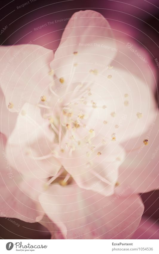 FrühfrühLingling Frühling Pflanze Blume Blüte Garten Duft ästhetisch natürlich schön rosa rot Zufriedenheit Frühlingsgefühle Doppelbelichtung Kirschblüten