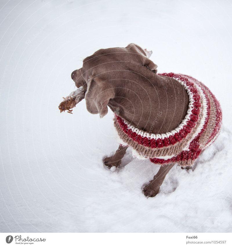 nochmal warm anziehen Natur Winter Klimawandel Schnee Haustier Hund 1 Tier Spielzeug Holz Stöckchen Wollpullover Bewegung Fitness sitzen springen toben