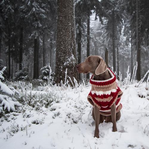 kalt......also warm anziehen Hund schön weiß rot ruhig Tier Winter Bewegung Schnee Spielen braun verrückt Ausflug Bekleidung Warmherzigkeit