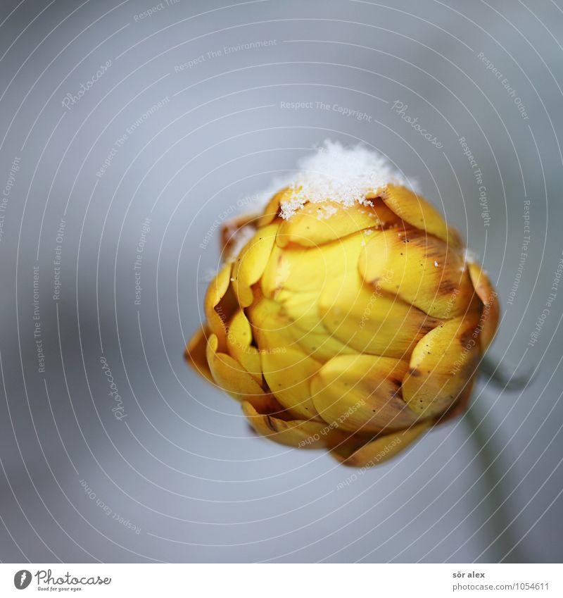bischen Schnee Umwelt Pflanze Winter Blume Blüte Strohblume kalt gelb grau Sicherheit Schutz Geborgenheit Traurigkeit Trauer Vergänglichkeit Farbfoto