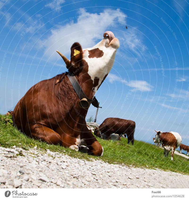 Hüttengaudi / Fliegenfänger Landschaft Himmel Wolken Sommer Schönes Wetter Gras Berge u. Gebirge Nutztier Kuh 1 Tier Herde beobachten Bewegung wandern