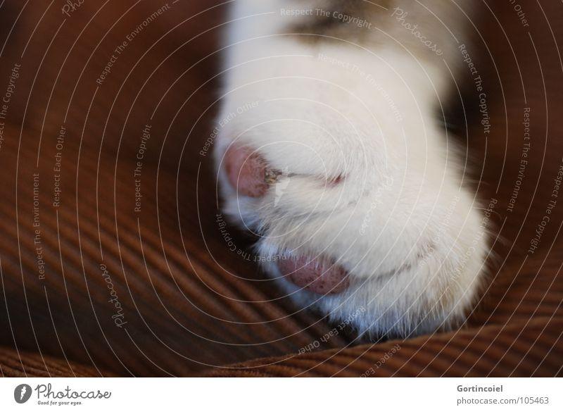 Cordpfote I weiß Katze braun liegen weich Fell zart Pfote Haustier sanft Katzenpfote