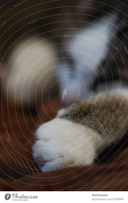 Cordpfote II Katze ruhig Tier träumen braun Zufriedenheit liegen schlafen Pause weich niedlich Fell Pfote Haustier sanft Katzenpfote