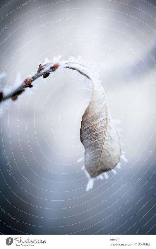 vereist Natur blau Pflanze weiß Blatt Winter kalt Umwelt Schnee Eis Frost