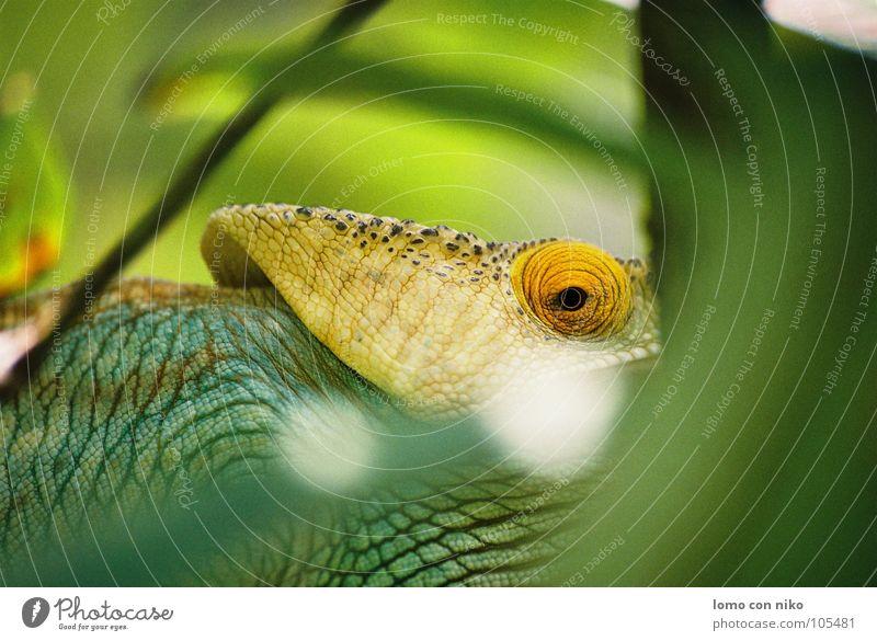 auge grün Auge Afrika verstecken Publikum gefangen Reptil Chamäleon Madagaskar