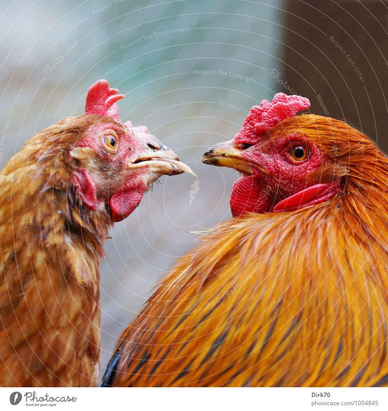 Zudringlich. rot Tier schwarz grau braun Vogel Zusammensein orange Tierpaar Neugier Landwirtschaft Überraschung Küssen Haustier frech Forstwirtschaft