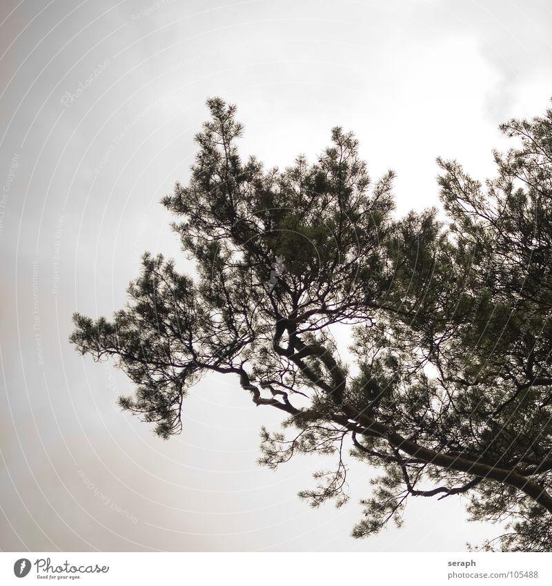 Kiefer Baum alt eigenwillig Ast Strukturen & Formen Umwelt Natur Baumrinde verästelt Nadelbaum Konifere abstrakt Pflanze nadelholz Holz Japanisch Silhouette