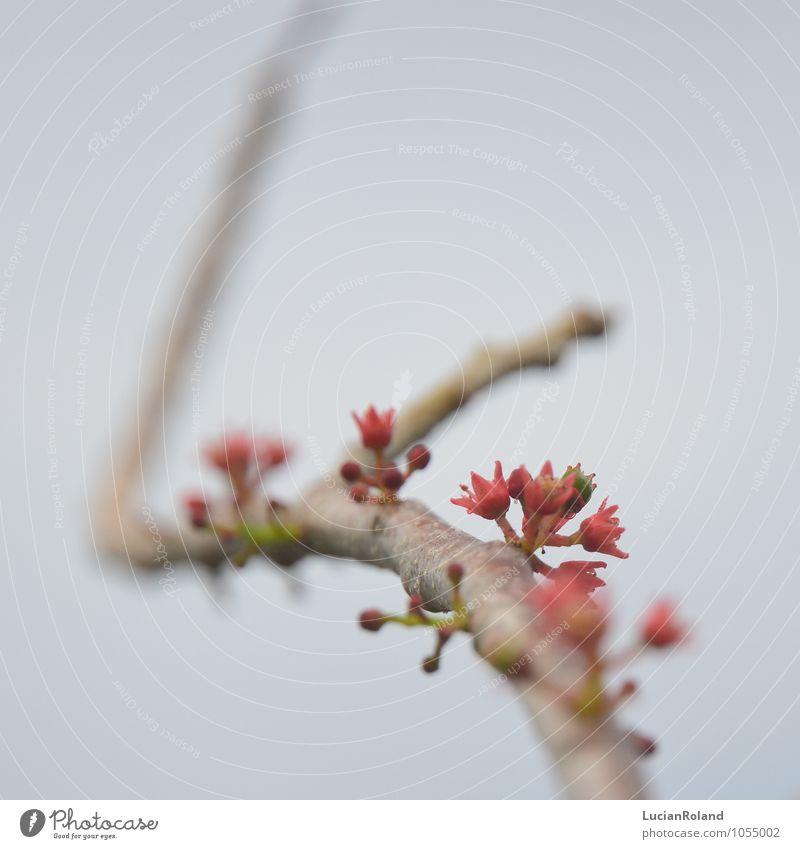 tropischer Frühling Natur Pflanze Blüte Nutzpflanze Obstbaum exotisch klein neu niedlich rosa rot Frühlingsgefühle Vorfreude bizarr Lebensfreude Obstblüte