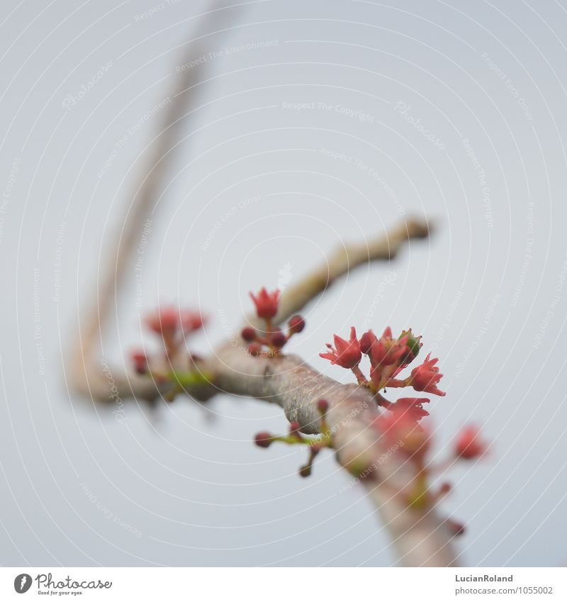 tropischer Frühling Natur Pflanze rot Blüte klein rosa Ast Lebensfreude niedlich neu Zweig exotisch Vorfreude bizarr Frühlingsgefühle