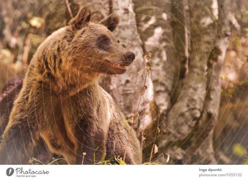 damit ich dich besser....... Natur Ferien & Urlaub & Reisen Pflanze Landschaft Tier Wald Umwelt braun Wildtier Tourismus Europa bedrohlich weich Abenteuer
