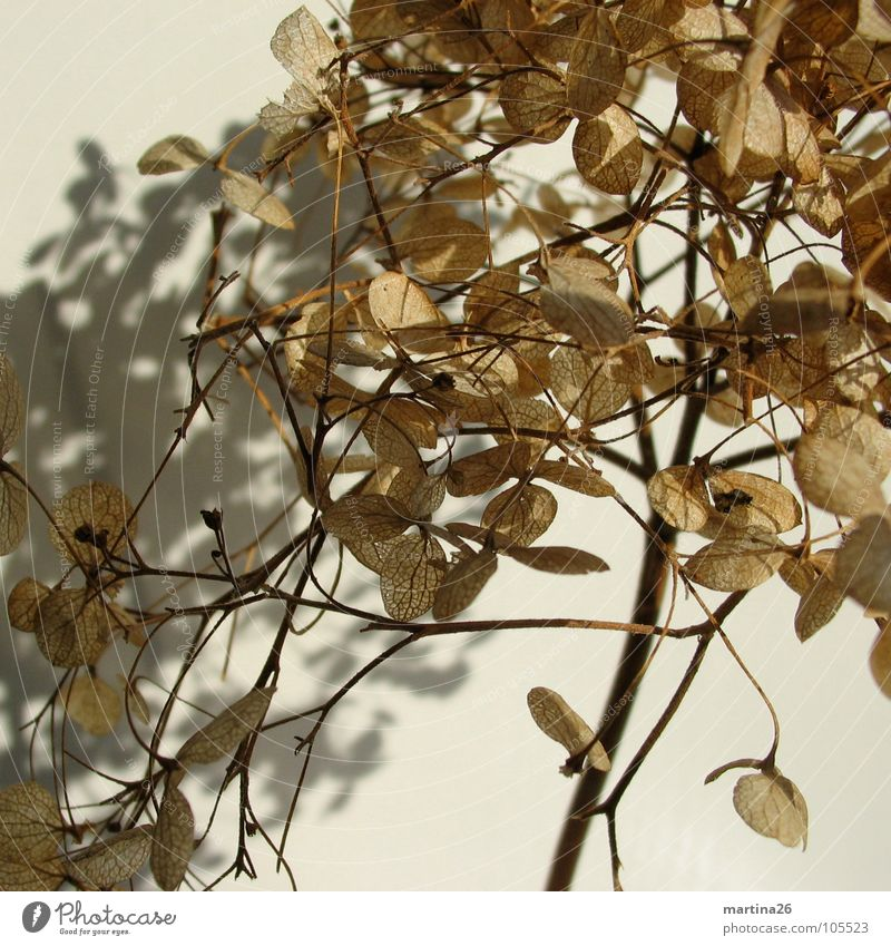 Me and my shadow Hortensie Blume Stengel Trockenblume braun filigran Schatten zart schön Pflanze Blüte Herbst Vergänglichkeit getrocknet hydrangea flower sere