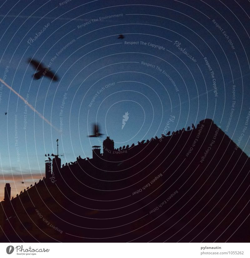 Hausbesetzung 2 Himmel Wolken Sonnenaufgang Sonnenuntergang Dach Tier Vogel Schwarm fliegen blau orange schwarz Krähe Farbfoto Außenaufnahme Textfreiraum oben