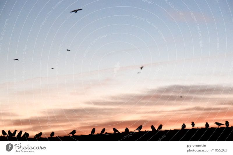 Hausbesetzung 1 Himmel Wolken Sonnenaufgang Sonnenuntergang Dach Tier Vogel Schwarm fliegen blau orange schwarz Krähe Farbfoto Außenaufnahme Textfreiraum oben