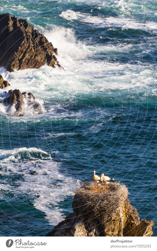 Störche nisten an der portugiesischen Küste Natur Pflanze Sommer Meer Landschaft Tier Strand Umwelt Gefühle Küste Vogel Felsen Wildtier Wellen Lebensfreude Schönes Wetter