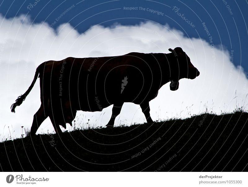 Im Schatten des Rindes Natur Ferien & Urlaub & Reisen Pflanze Sommer Landschaft Wolken Tier Ferne Berge u. Gebirge Umwelt Wiese Glück Tourismus Feld Ausflug Lebensfreude