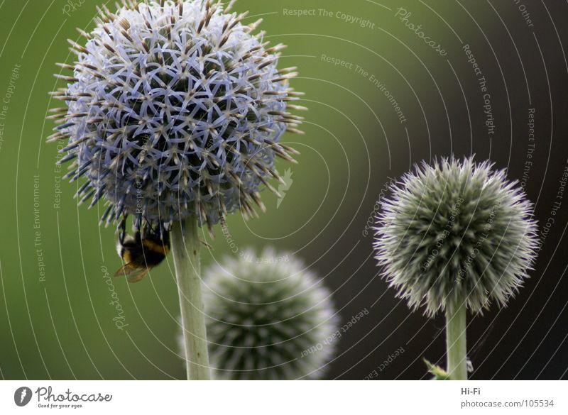 Hummel Biene Blüte bestäuben Honig Staubfäden Blume Pollen Nektar