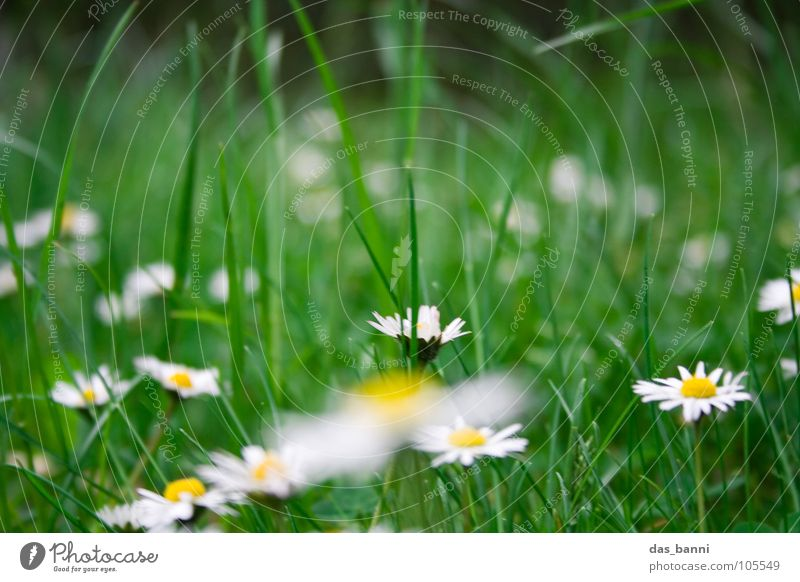 Gänsewiese I Gänseblümchen Blume Wiese Blumenwiese Unschärfe Gartenarbeit Gras Alm Kräutergarten Beet Wiesenblume Futter Erholung frisch knackig Fröhlichkeit