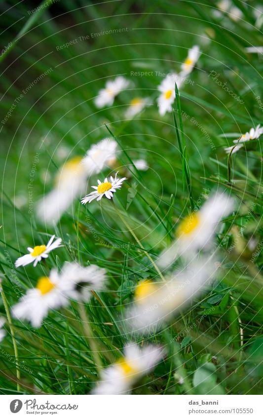 Gänsewiese II Gänseblümchen Blume Wiese Blumenwiese Unschärfe Gartenarbeit Gras Alm Kräutergarten Beet Wiesenblume Futter Erholung frisch knackig Fröhlichkeit