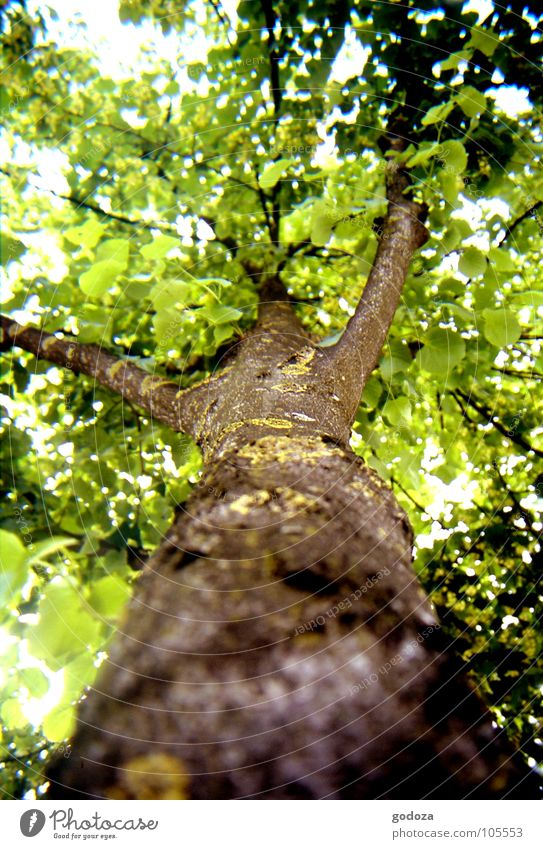 Baum aus Katzenperspektive Blatt Baumrinde braun grün Umweltschutz Baumsterben Wachstum gewachsen Tier Insekt Ameise Vogel Sommer Frühling frisch Physik Mittag