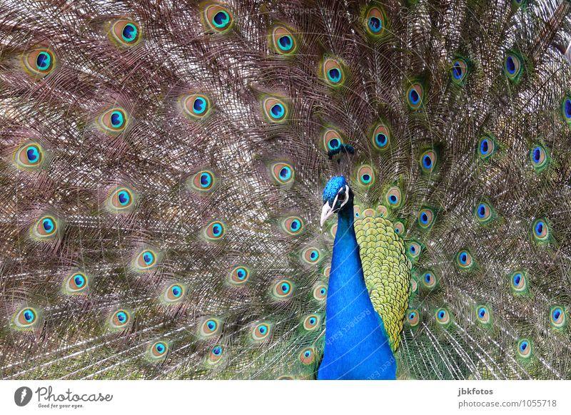 Pfau Natur Tier Haustier Nutztier Tiergesicht Flügel Zoo 1 ästhetisch schön einzigartig verrückt Außenaufnahme Menschenleer Tag Zentralperspektive Porträt