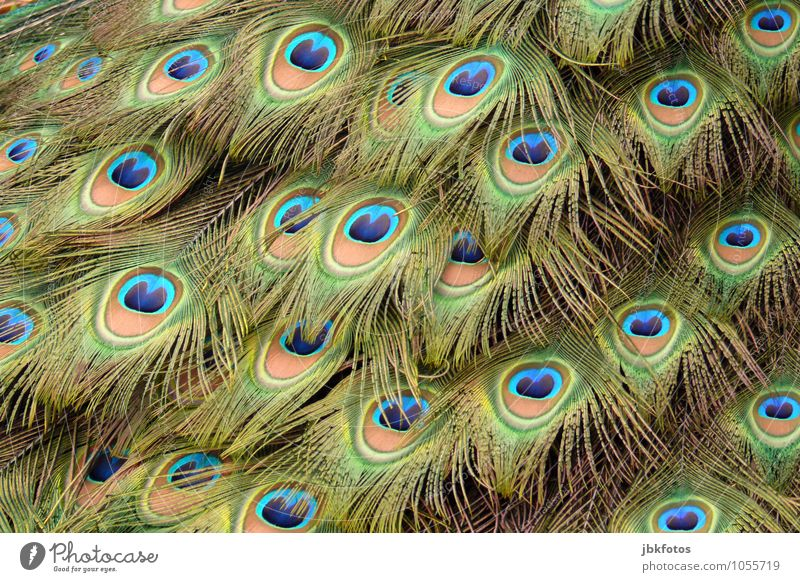 Federschmuck Umwelt Tier Haustier Nutztier Vogel Flügel Pfau Pfauenfeder Metallfeder 1 außergewöhnlich elegant exotisch glänzend Glück schön einzigartig Kitsch
