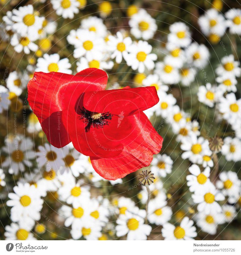 Blümchen Natur Landschaft Pflanze Sommer Blume Wildpflanze Feld Blühend Duft Wachstum Freundlichkeit Fröhlichkeit frisch mehrfarbig rein Mohn Mohnblüte