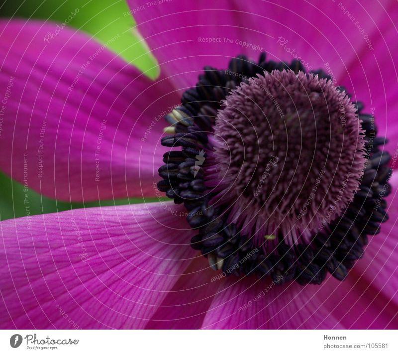 Power Flower Blüte violett rosa Pflanze Blume Anemonen Hahnenfußgewächse Zierpflanze Sommer mehrfarbig Gift Garten Park Stempel Natur Blühend Kugel Pfeilgift