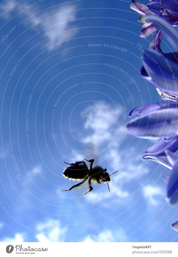 biene im anflug II Biene Honig Blume Insekt Sommer Blüte Wolken Staubfäden Himmel Luftverkehr blau Nektar Sonne Beine Momentaufnahme