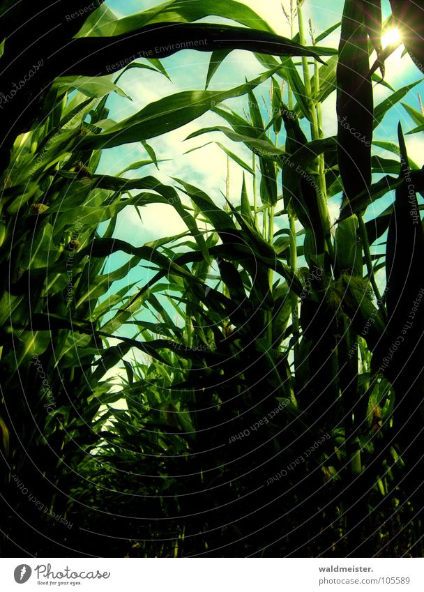 Maisfeld am Nachmittag Feld Landwirtschaft Feldfrüchte Erde Licht Schatten grün braun Biokraftstoff nachwachsender Rohstoff Bioethanol