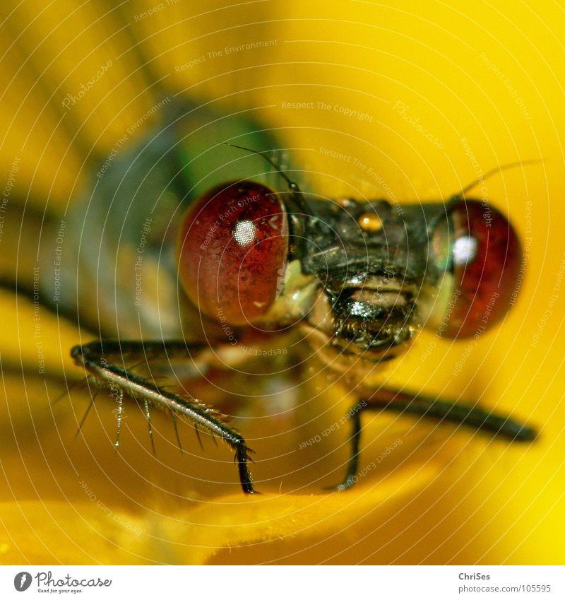 Märchenstunde Teil 2 : Weidenjungfer 03 Gemeine Binsenjungfer Libelle Insekt Tier gelb Sonnenblume grün frontal Blüte Aussehen Blick Hallo Vorhang Nordwalde