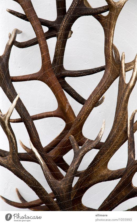Vierzigender weiß braun Design Dekoration & Verzierung elegant Kraft ästhetisch stark Jagd bizarr Horn Stolz Trophäe Sammlerstück Zwölfender