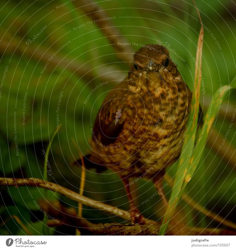 Junger Star Natur grün Pflanze Tier Wald Farbe Umwelt braun Vogel Feder Schutz verstecken frech Schnabel
