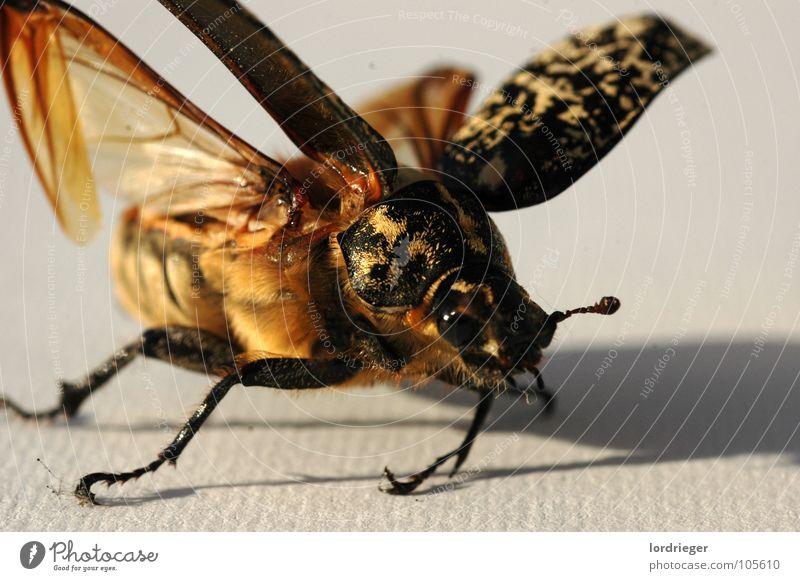 der flugunfähige_02 Insekt Strand flattern Fühler krabbeln Käfer Flügel Schatten fliegen Natur Gefühle Auge
