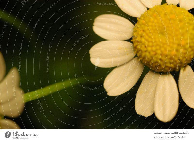 ...nur einmal ganz groß Natur Blume Wiese Gänseblümchen Blumenwiese Margerite