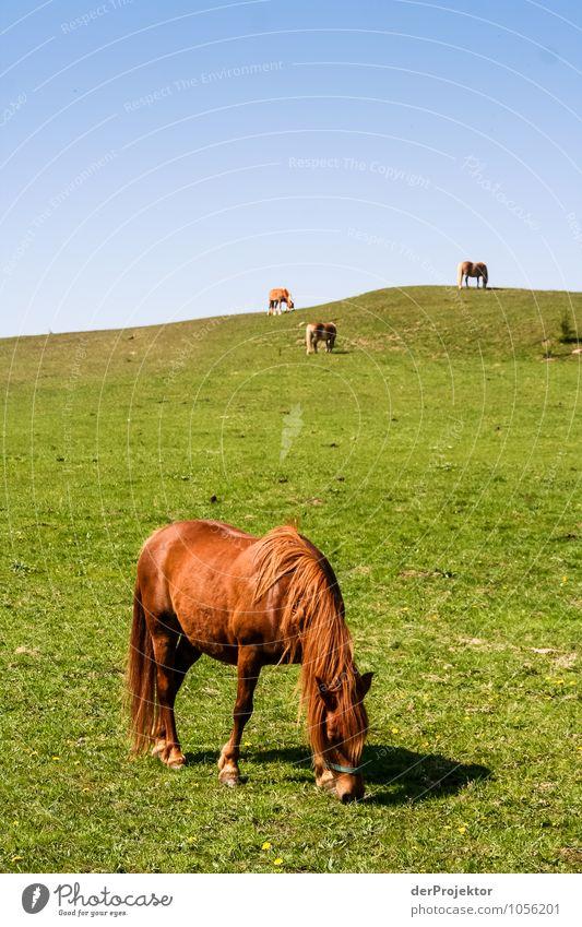In aller Ruhe grasen Natur Ferien & Urlaub & Reisen Pflanze Landschaft Freude Tier Umwelt Gefühle Wiese Frühling Glück Feld Tourismus Insel Ausflug