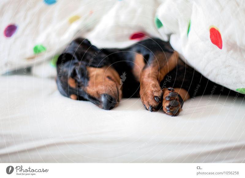 schnarchnase Häusliches Leben Wohnung Bett Schlafzimmer Tier Haustier Hund Tiergesicht Fell Krallen Pfote 1 Decke schlafen niedlich Tierliebe Farbfoto
