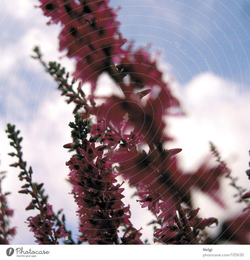 Erika.... Heide Bergheide Blüte Blume Heidekrautgewächse Lüneburger Heide rosa klein grün braun Wolken weiß nass emporragend Unschärfe Herbst Makroaufnahme