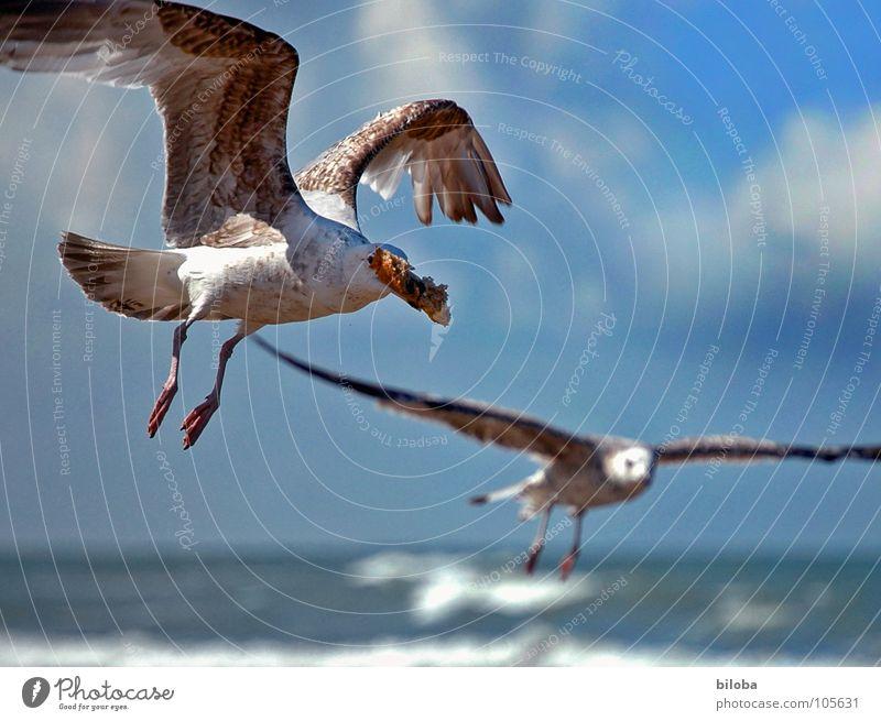 schnap und weg Möwe Vogel Meeresvogel gleiten Flügel Diebstahl schnappen entwenden Schnabel See schlechtes Wetter Wolken Tier Gier gehen Möve Möven Seevogel