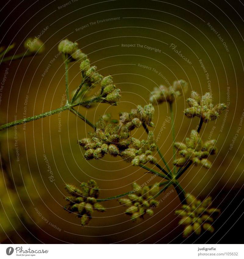 Wiese Blüte Blume Pflanze Stengel Doldenblütler Bedecktsamer weiß braun schwarz Sommer Umwelt Wachstum gedeihen schön Gift Heilpflanzen dunkel Farbe Wildtier