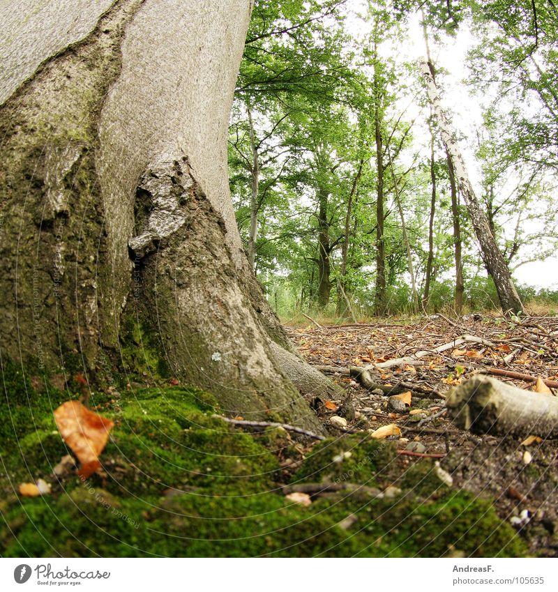 Buche und Moos Natur Baum Blatt Wald Herbst Holz dreckig Umwelt nass feucht Baumstamm Baumrinde Forstwirtschaft Wurzel Laubbaum Waldboden