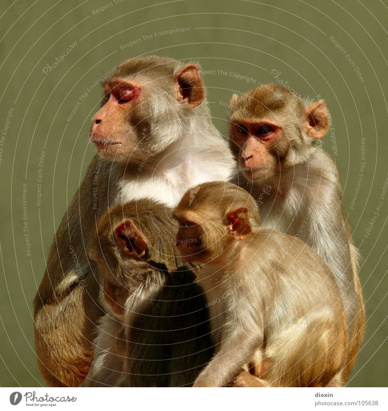 Macaca mulatta Farbfoto Gedeckte Farben Außenaufnahme Menschenleer Textfreiraum oben Hintergrund neutral Tierporträt Ganzkörperaufnahme Profil Halbprofil