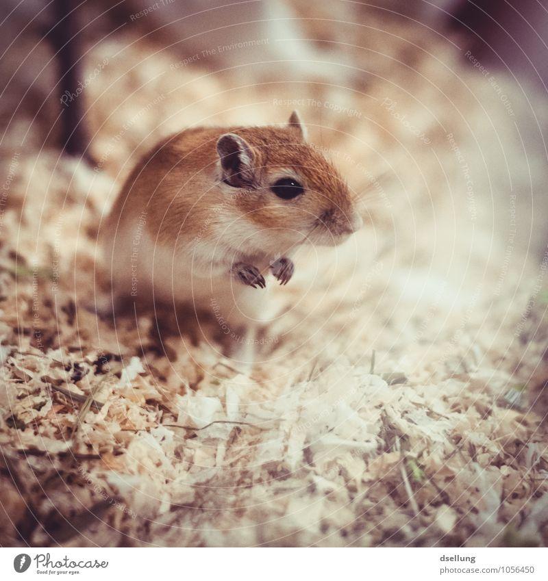 Müüsje III Tier Haustier Maus 1 beobachten Lächeln Blick frech Freundlichkeit Fröhlichkeit klein listig lustig niedlich verrückt einzigartig Neugier Farbfoto