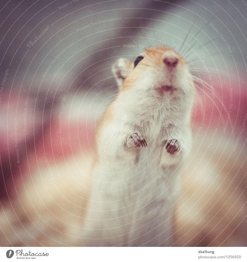 Müüsje! Tier Haustier Maus 1 beobachten Lächeln Blick frech Freundlichkeit Fröhlichkeit klein listig lustig niedlich verrückt einzigartig Neugier Farbfoto