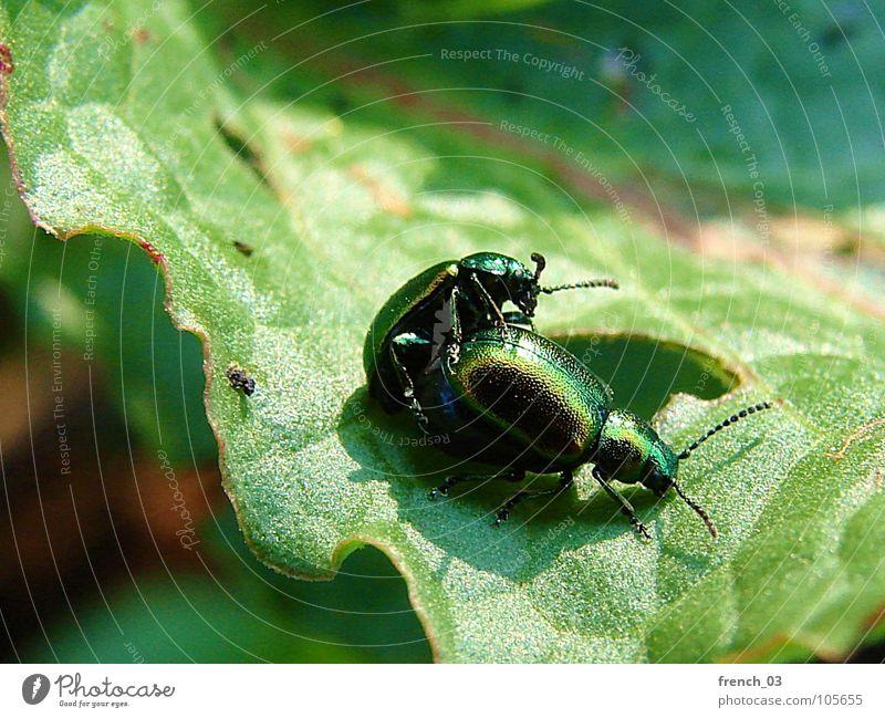 Käferliebe Natur grün Pflanze Sommer Blatt Tier Partnerschaft Käfer Sexualität Sinnesorgane Nachkommen Fortpflanzung Zweiflügler