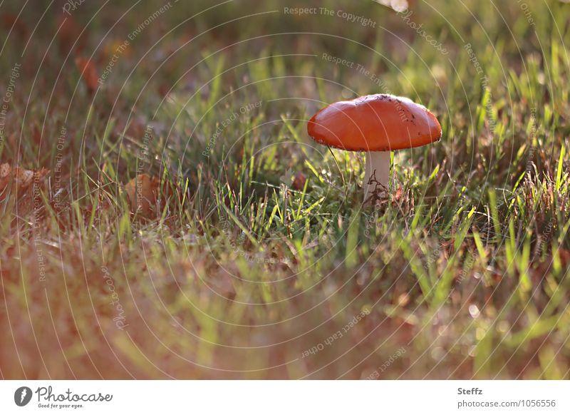 in der Herbstsonne Natur rot Wiese Gras Stimmung Schönes Wetter Pilz herbstlich Lichtschein Herbstfärbung Gift Lichteinfall Pilzhut Blendeneffekt Herbstwetter