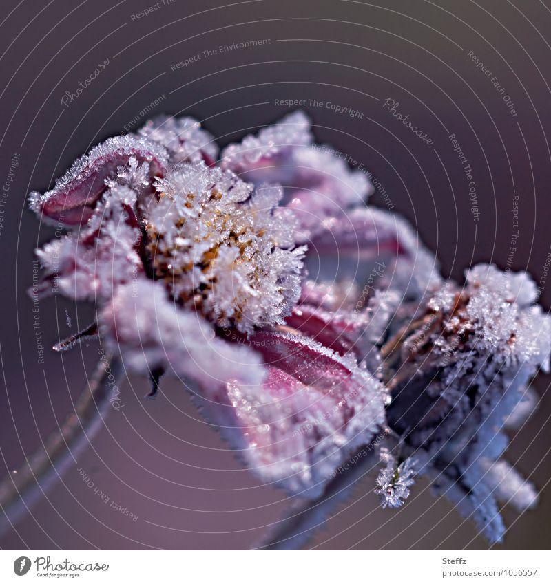 vereiste Blumen Natur Pflanze Herbst Winter Klima Klimawandel Eis Frost Blüte Blütenblatt Blühend frieren kalt schön violett weiß Wandel & Veränderung
